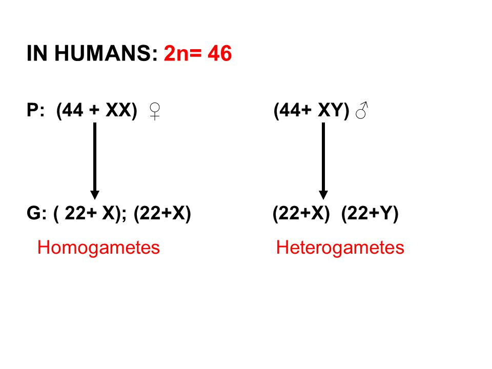 IN HUMANS: 2n= 46 P: (44 + XX) ♀ (44+ XY) ♂
