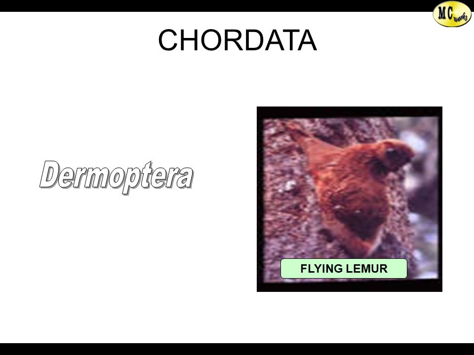 FLYING LEMUR Dermoptera