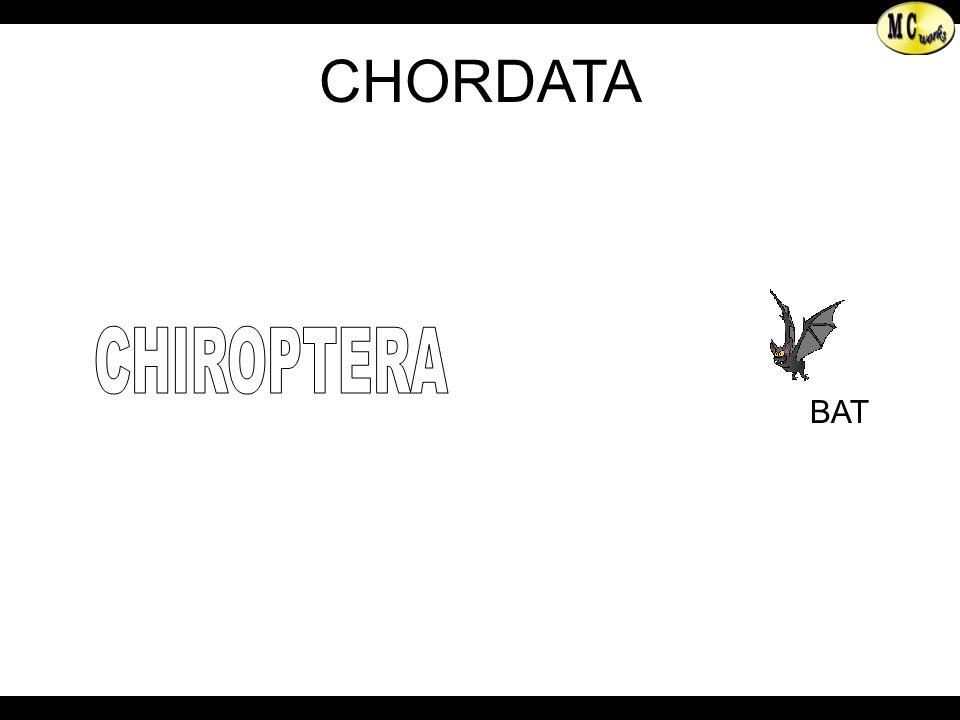 BAT CHIROPTERA
