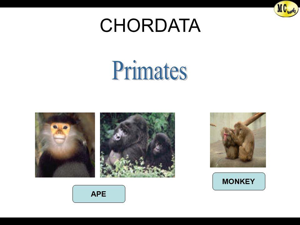 Primates APE MONKEY