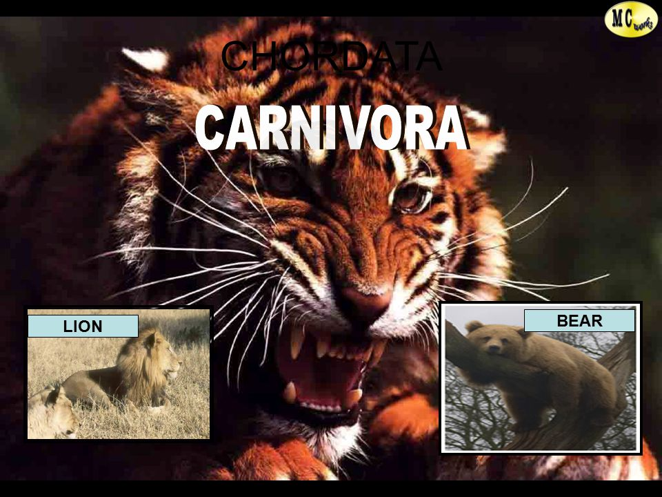 CARNIVORA BEAR LION