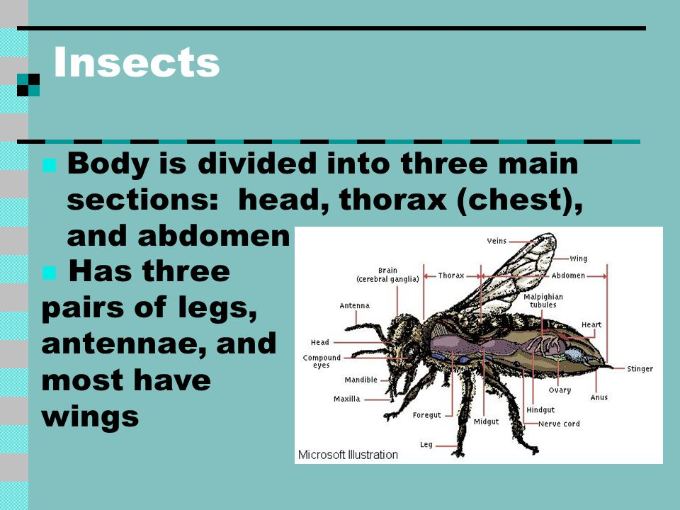 Insects Body is divided into three main sections: head, thorax (chest), and abdomen.
