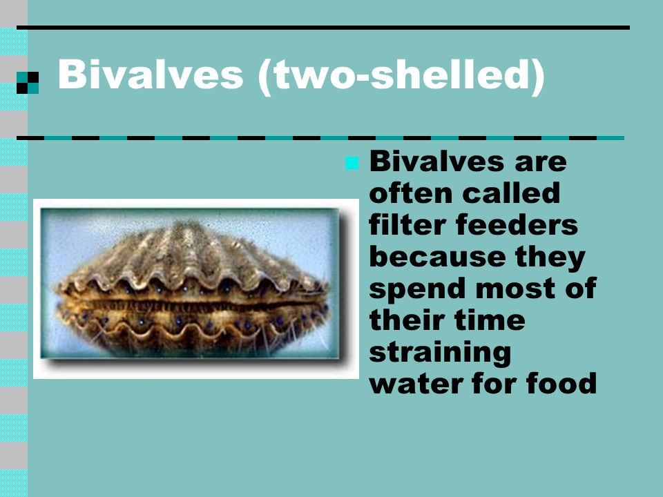 Bivalves (two-shelled)