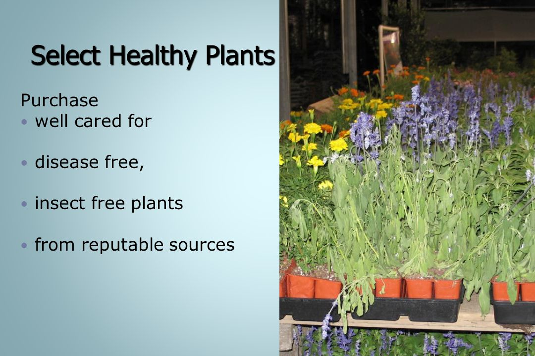 Select Healthy Plants Purchase well cared for disease free,