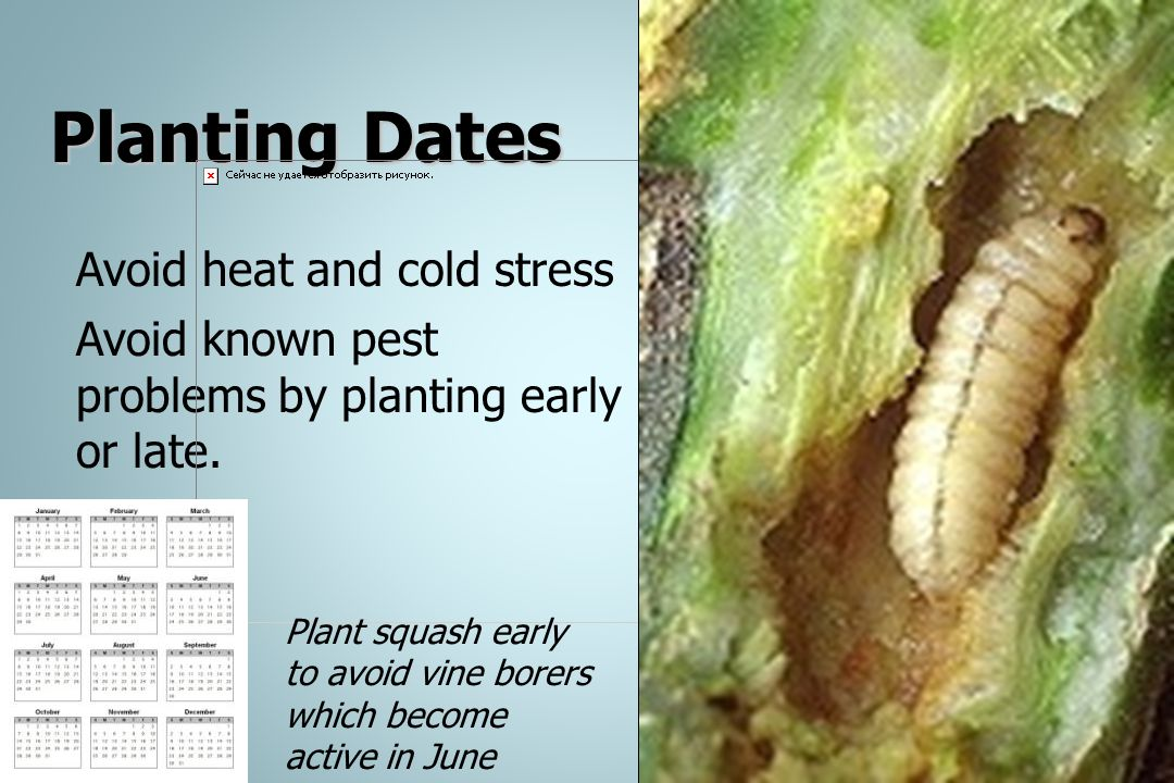 Planting Dates Avoid heat and cold stress