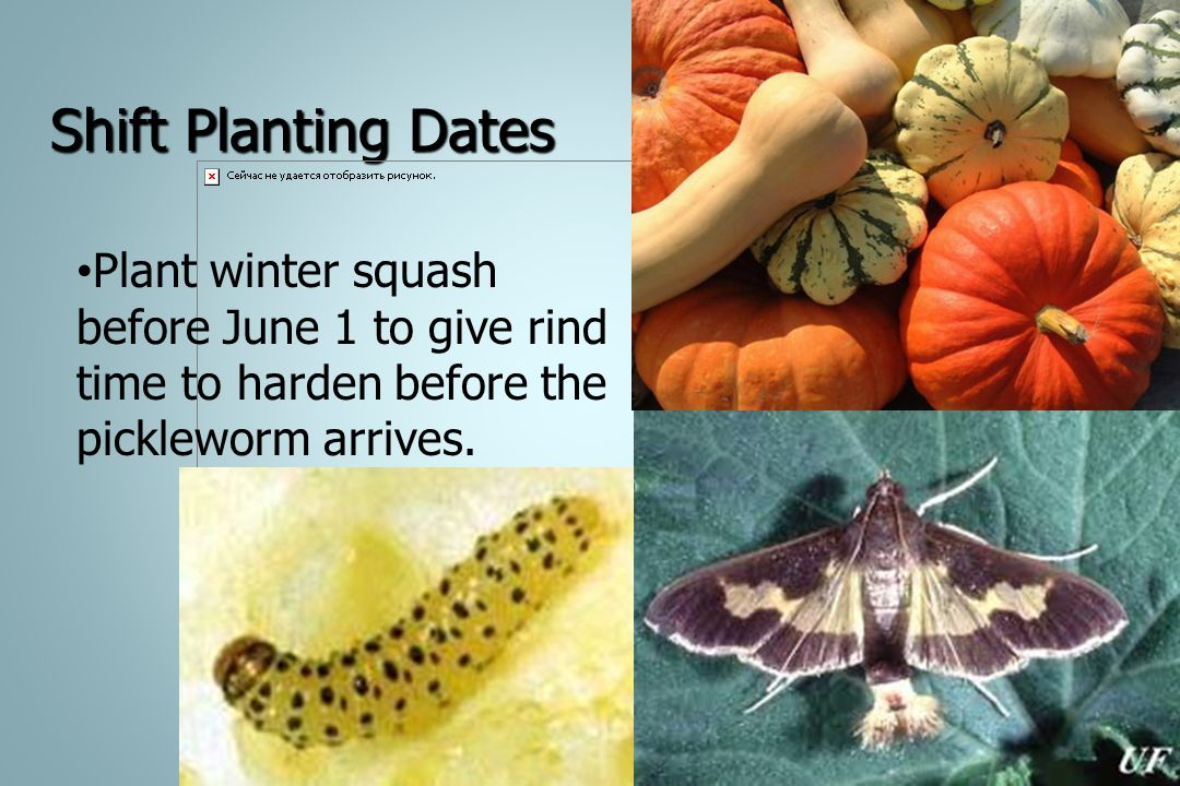 Shift Planting Dates Plant winter squash before June 1 to give rind time to harden before the pickleworm arrives.