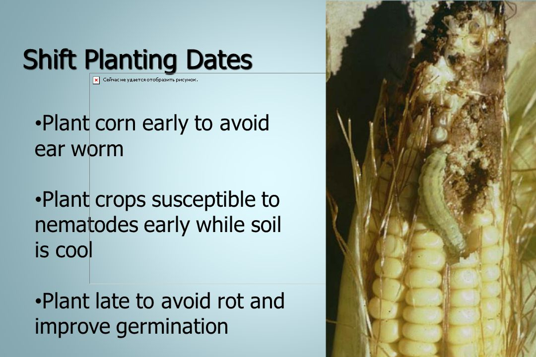 Shift Planting Dates Plant corn early to avoid ear worm
