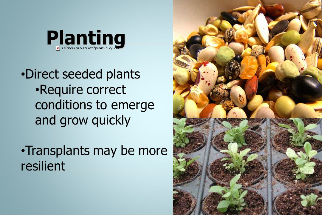 Planting Direct seeded plants