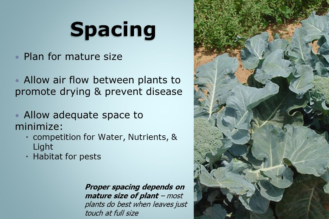 Spacing Plan for mature size