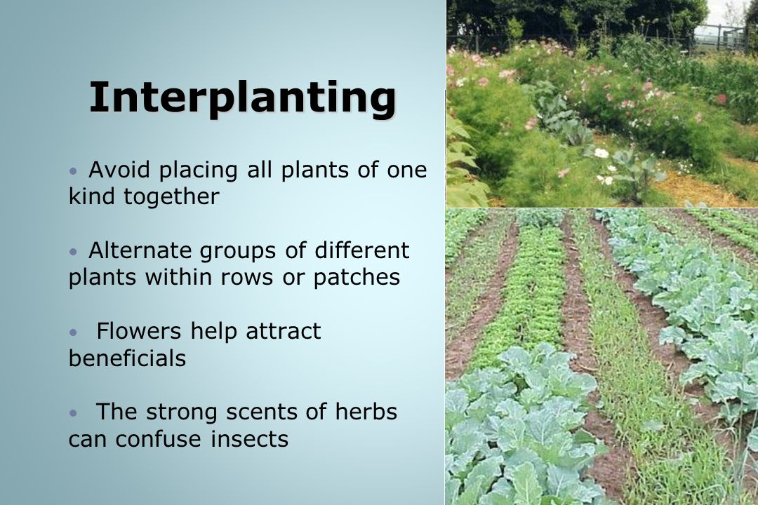 Interplanting Avoid placing all plants of one kind together