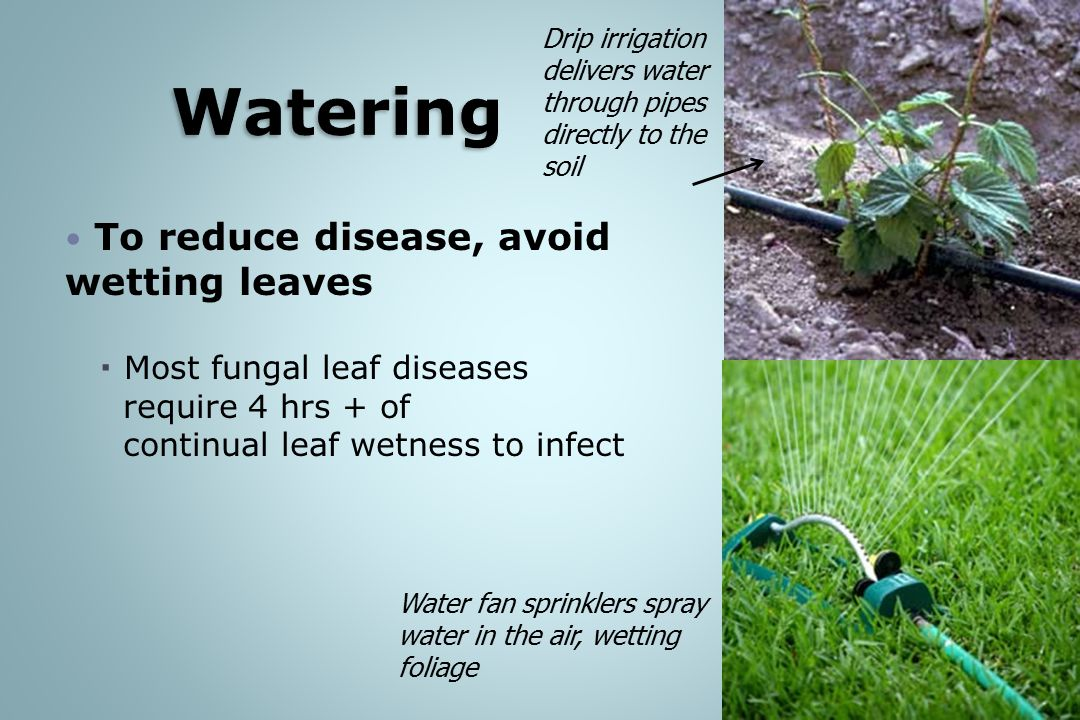 Watering To reduce disease, avoid wetting leaves