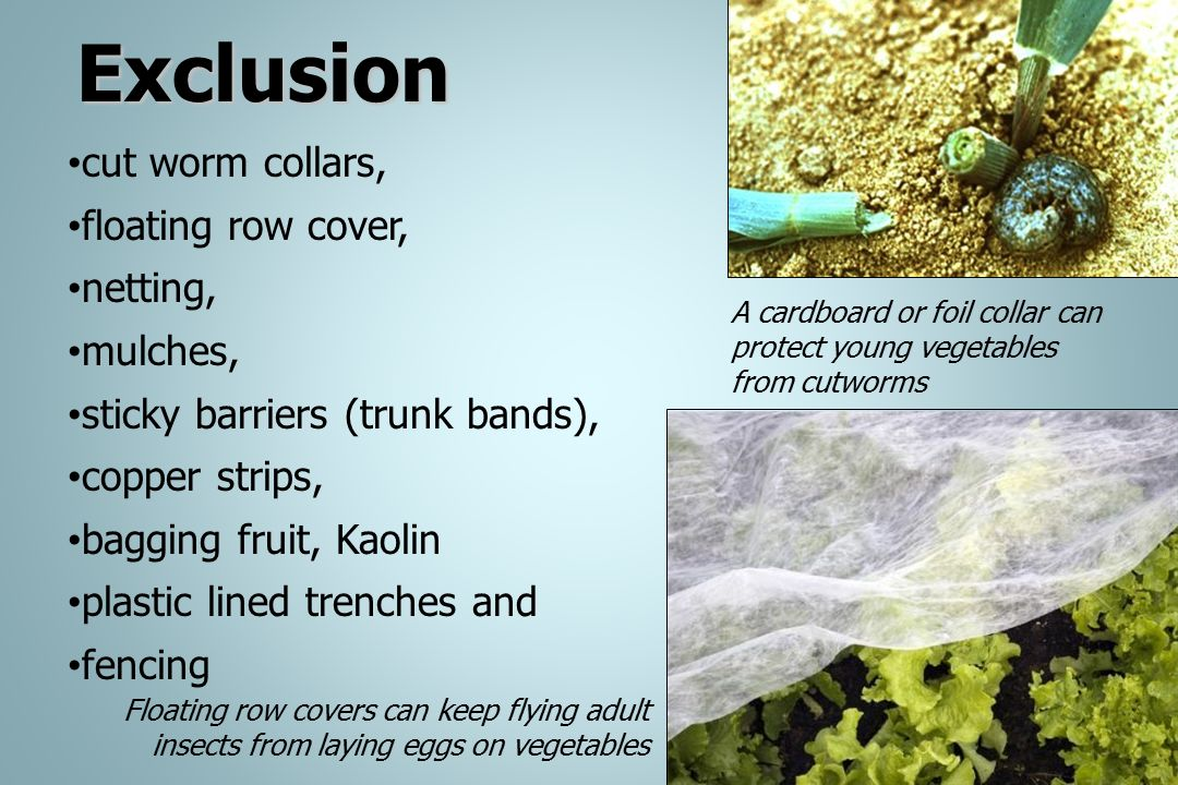 Exclusion cut worm collars, floating row cover, netting, mulches,