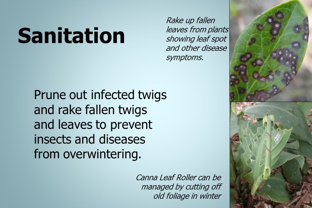 Rake up fallen leaves from plants showing leaf spot and other disease symptoms.