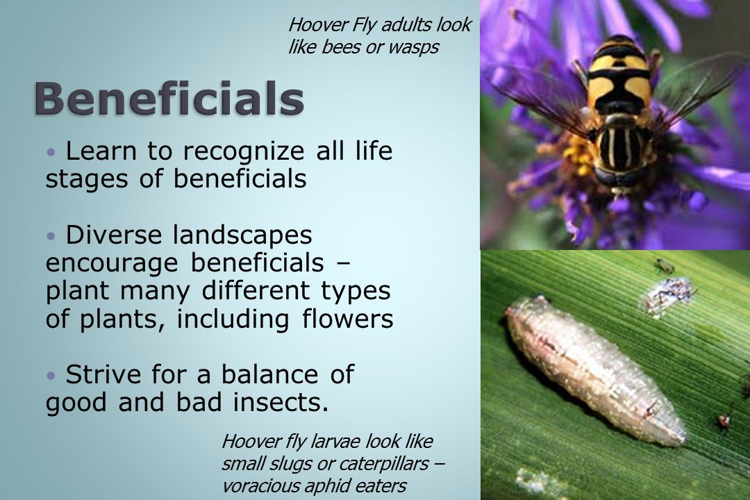 Beneficials Learn to recognize all life stages of beneficials