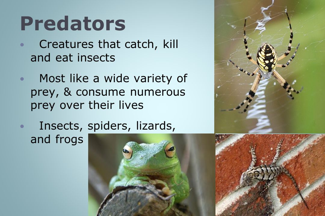 Predators Creatures that catch, kill and eat insects