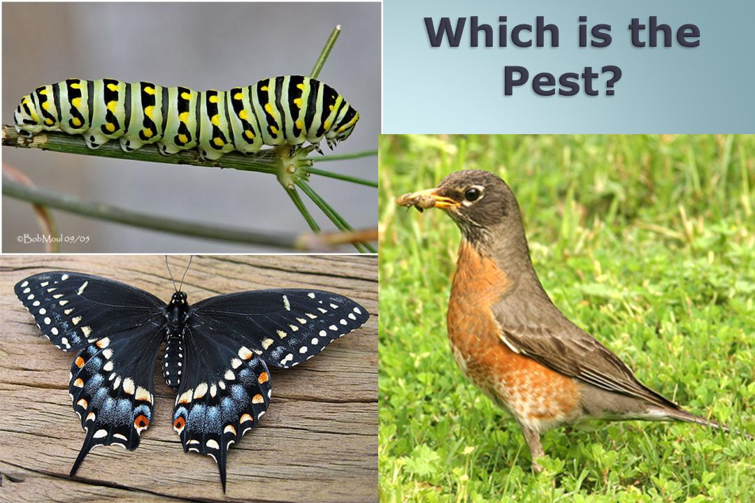 Which is the Pest What is a pest is purely a matter of perspective