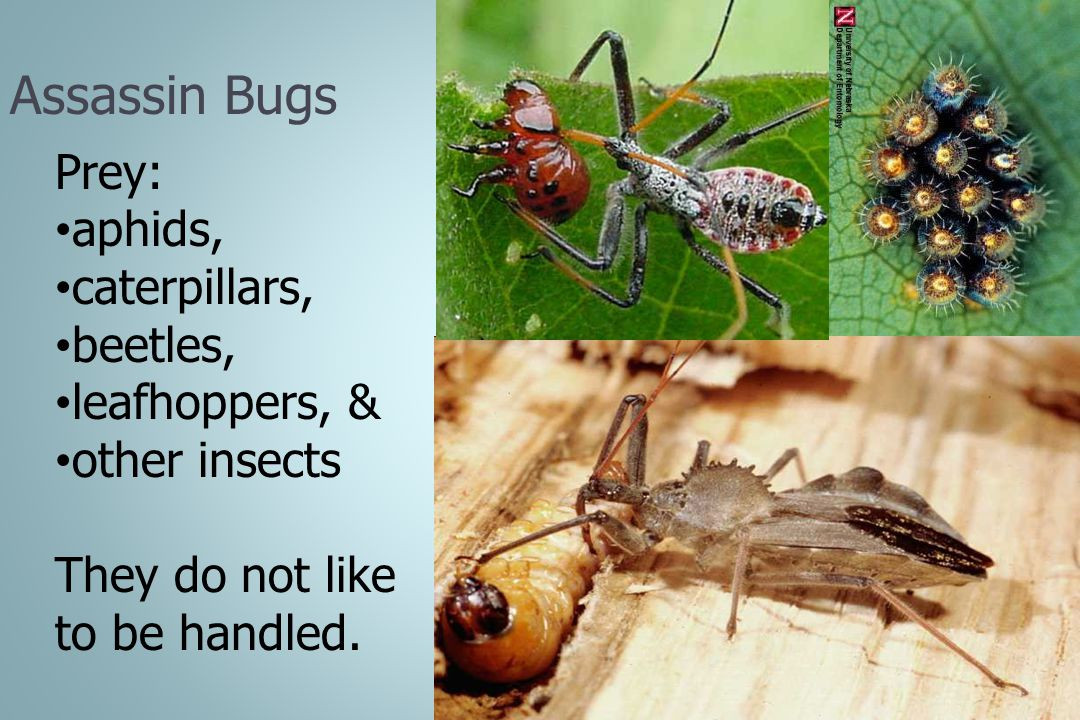 Assassin Bugs Prey: aphids, caterpillars, beetles, leafhoppers, &