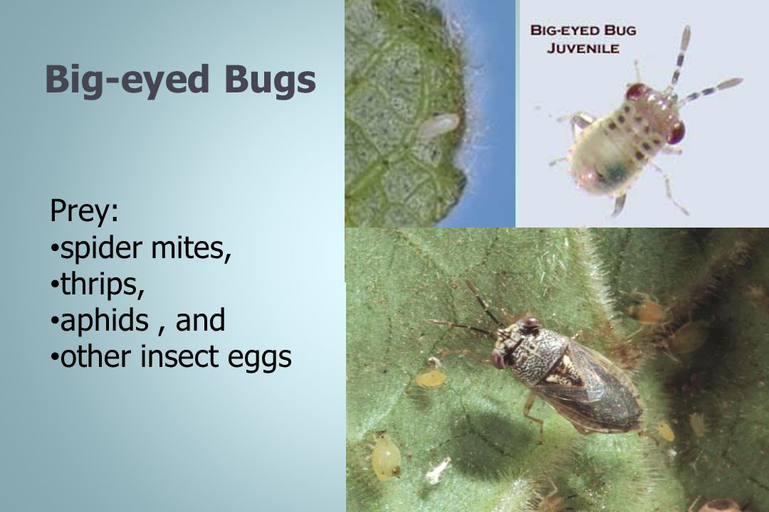 Big-eyed Bugs Prey: spider mites, thrips, aphids , and