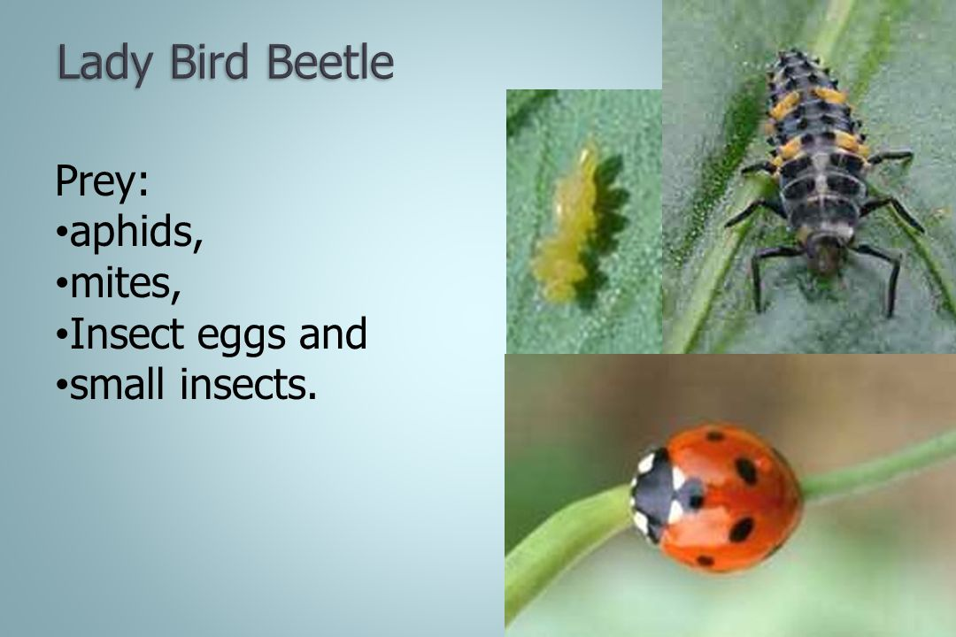Lady Bird Beetle Prey: aphids, mites, Insect eggs and small insects.