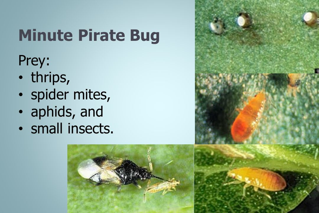 Minute Pirate Bug Prey: thrips, spider mites, aphids, and