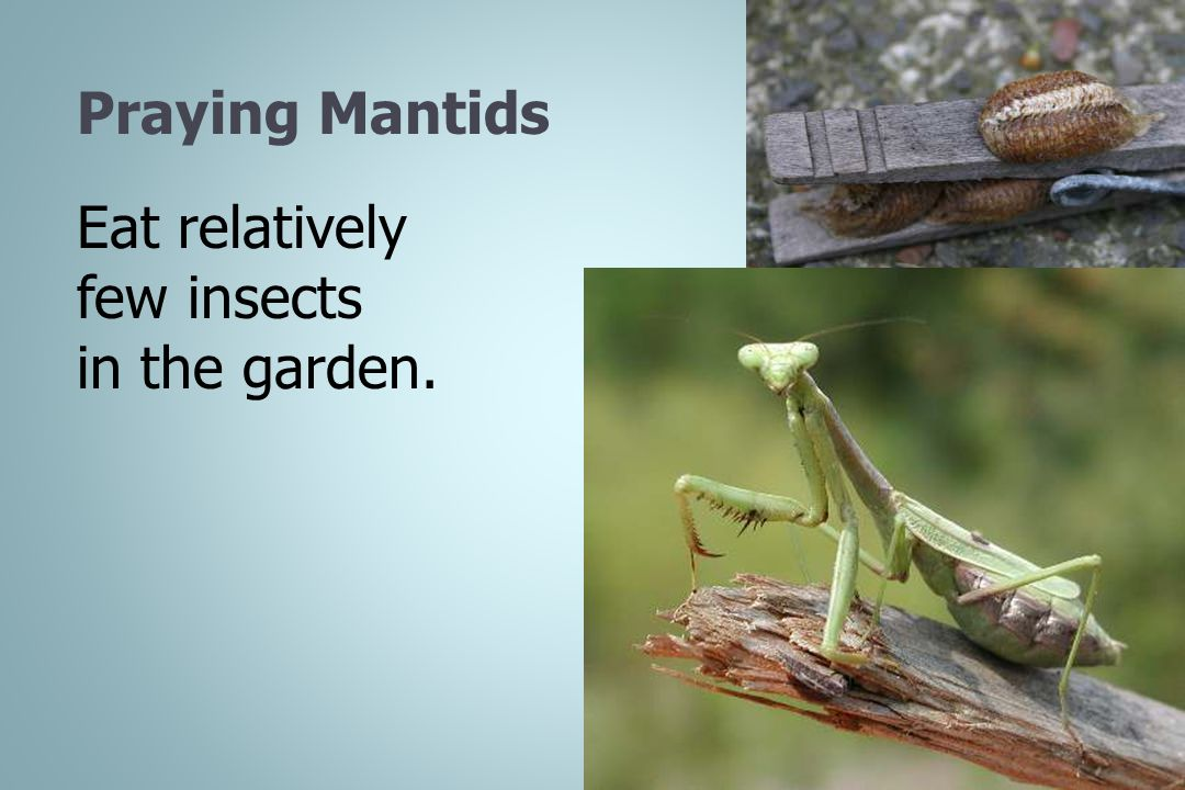 Eat relatively few insects in the garden.