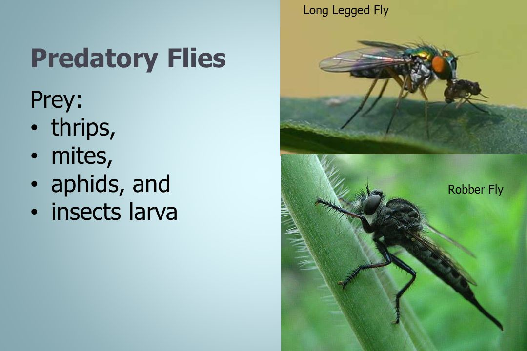 Predatory Flies Prey: thrips, mites, aphids, and insects larva