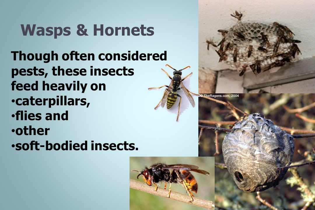 Wasps & Hornets Though often considered pests, these insects