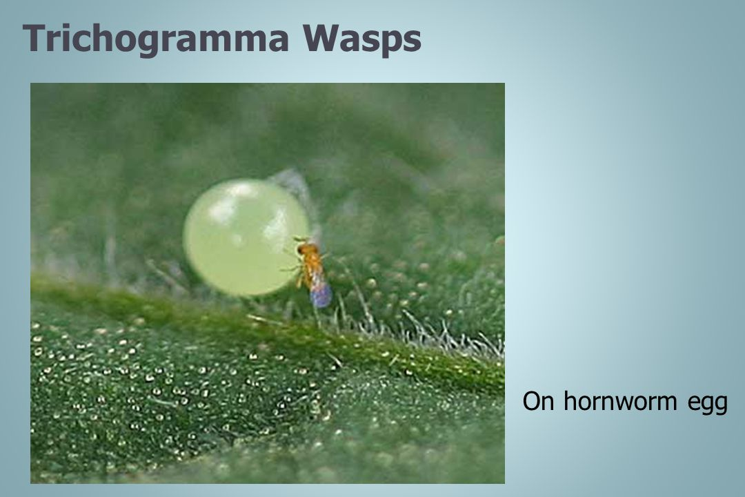 Trichogramma Wasps On hornworm egg Images by Debbie Roos