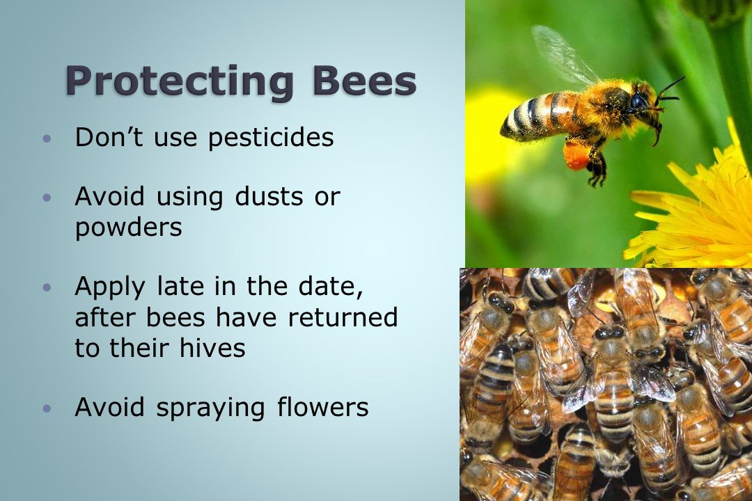 Protecting Bees Don't use pesticides Avoid using dusts or powders
