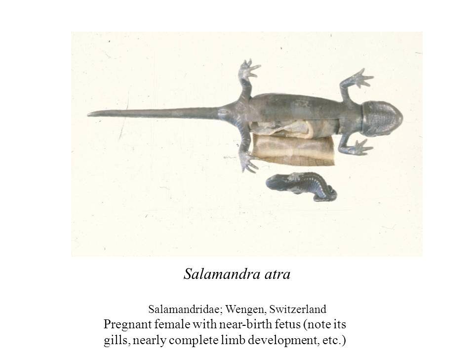 Salamandridae; Wengen, Switzerland