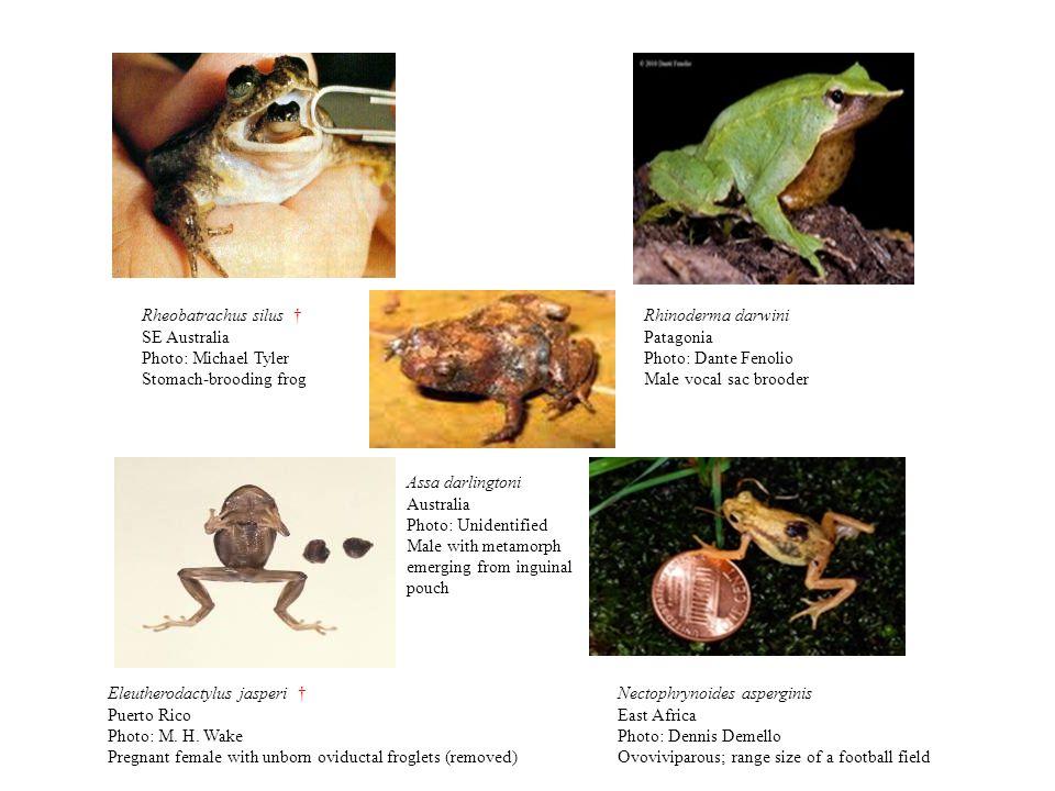 Rheobatrachus silus † SE Australia. Photo: Michael Tyler. Stomach-brooding frog. Rhinoderma darwini.