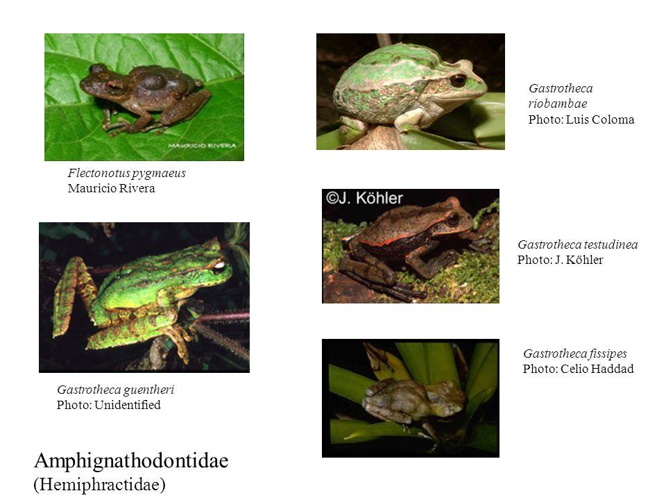 Amphignathodontidae (Hemiphractidae) Gastrotheca riobambae