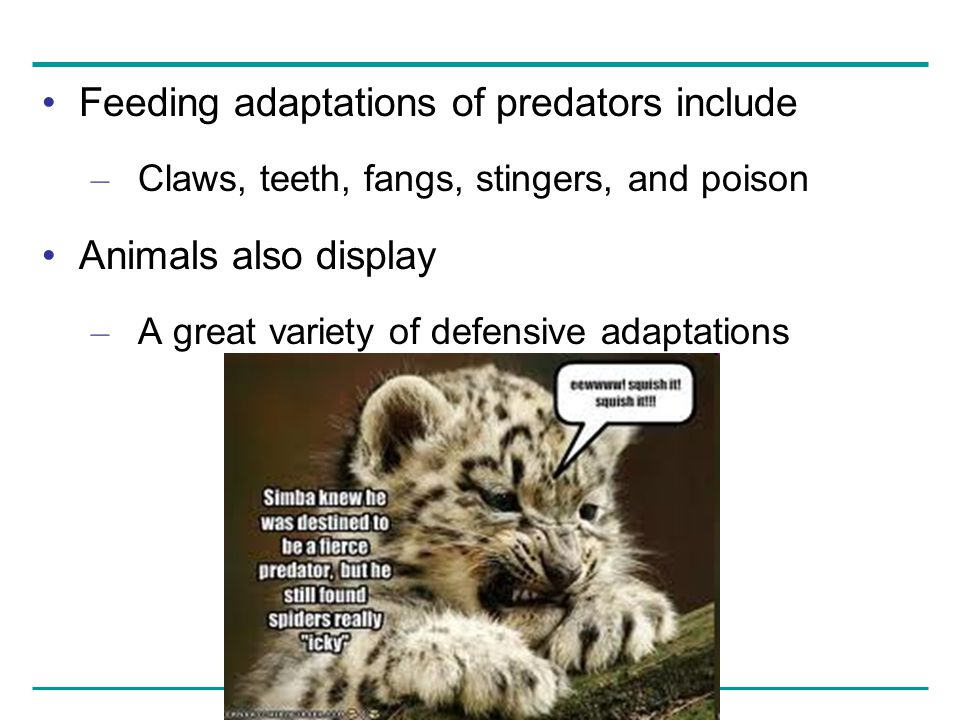 Feeding adaptations of predators include