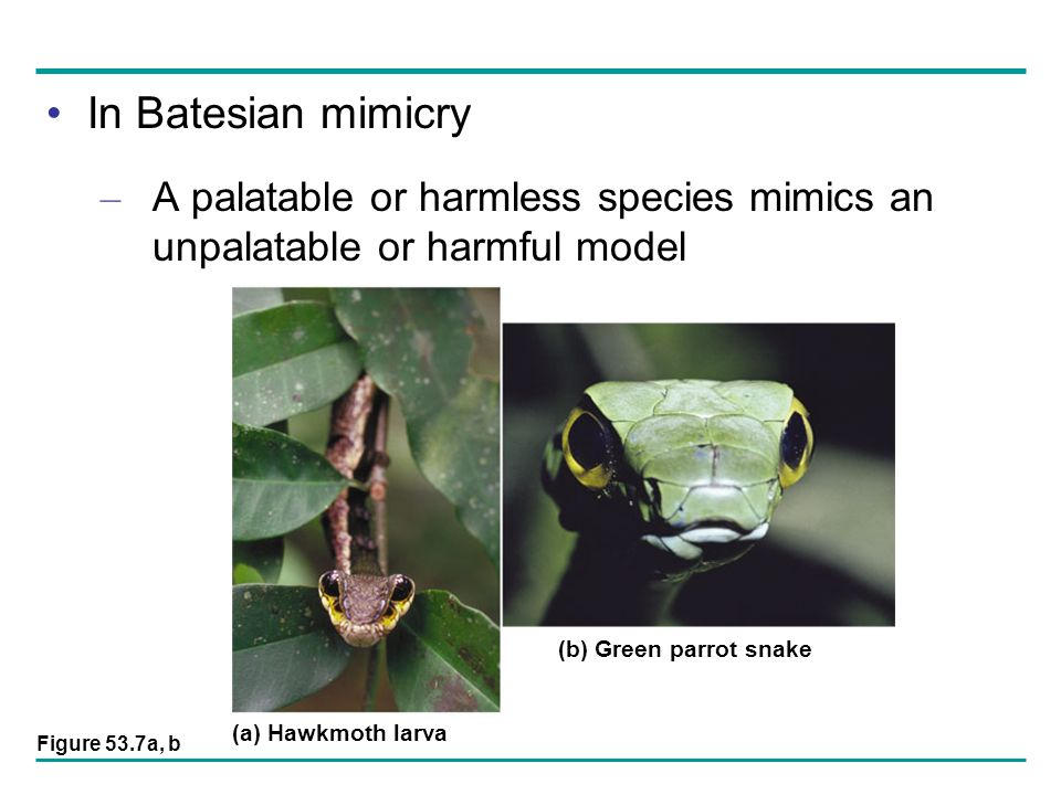 In Batesian mimicry A palatable or harmless species mimics an unpalatable or harmful model. (a) Hawkmoth larva.