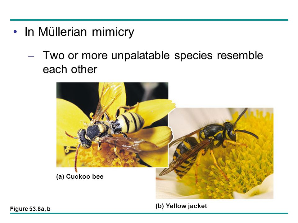 In Müllerian mimicry Two or more unpalatable species resemble each other. (a) Cuckoo bee. (b) Yellow jacket.