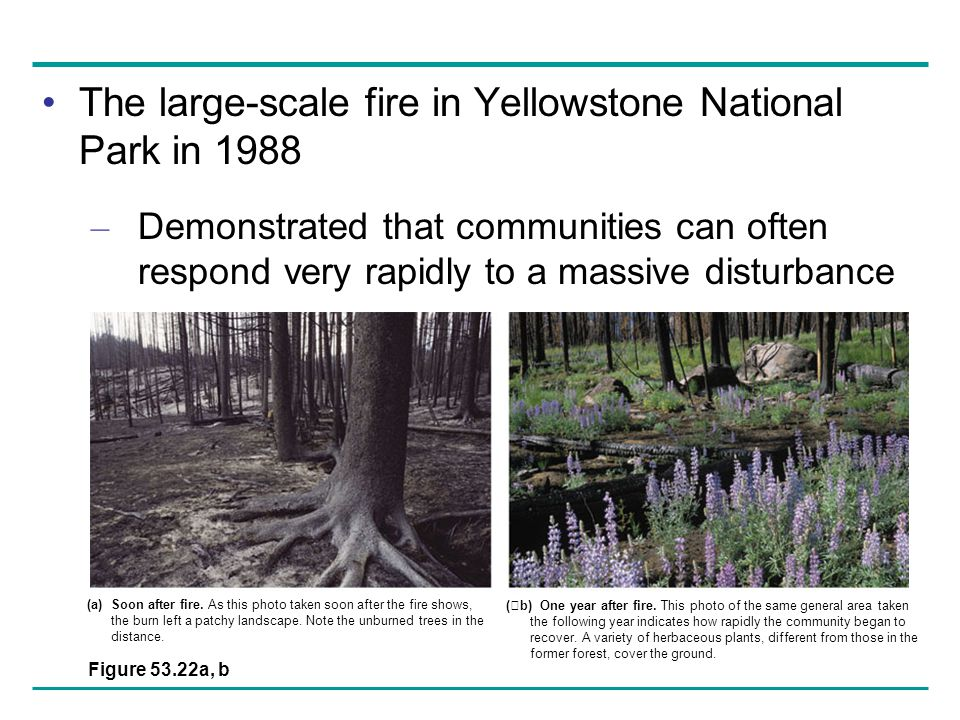 The large-scale fire in Yellowstone National Park in 1988