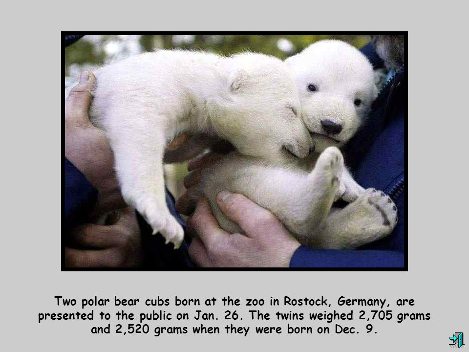 Two polar bear cubs born at the zoo in Rostock, Germany, are presented to the public on Jan.