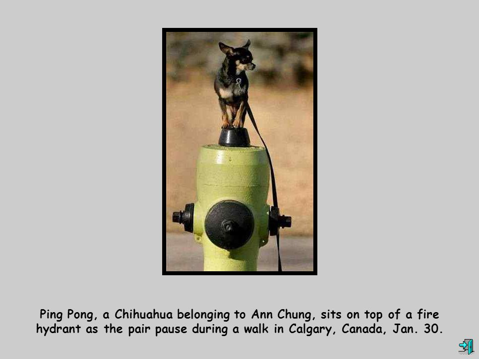 Ping Pong, a Chihuahua belonging to Ann Chung, sits on top of a fire hydrant as the pair pause during a walk in Calgary, Canada, Jan.