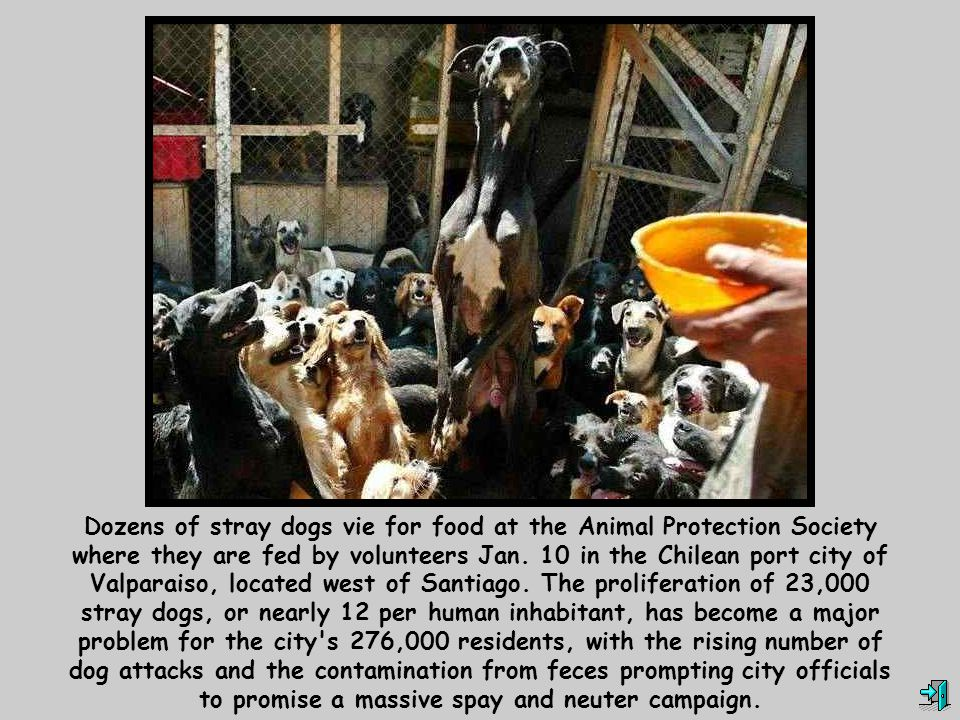 Dozens of stray dogs vie for food at the Animal Protection Society where they are fed by volunteers Jan.