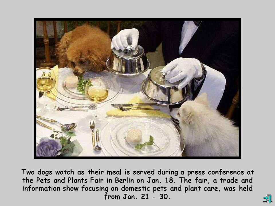 Two dogs watch as their meal is served during a press conference at the Pets and Plants Fair in Berlin on Jan.
