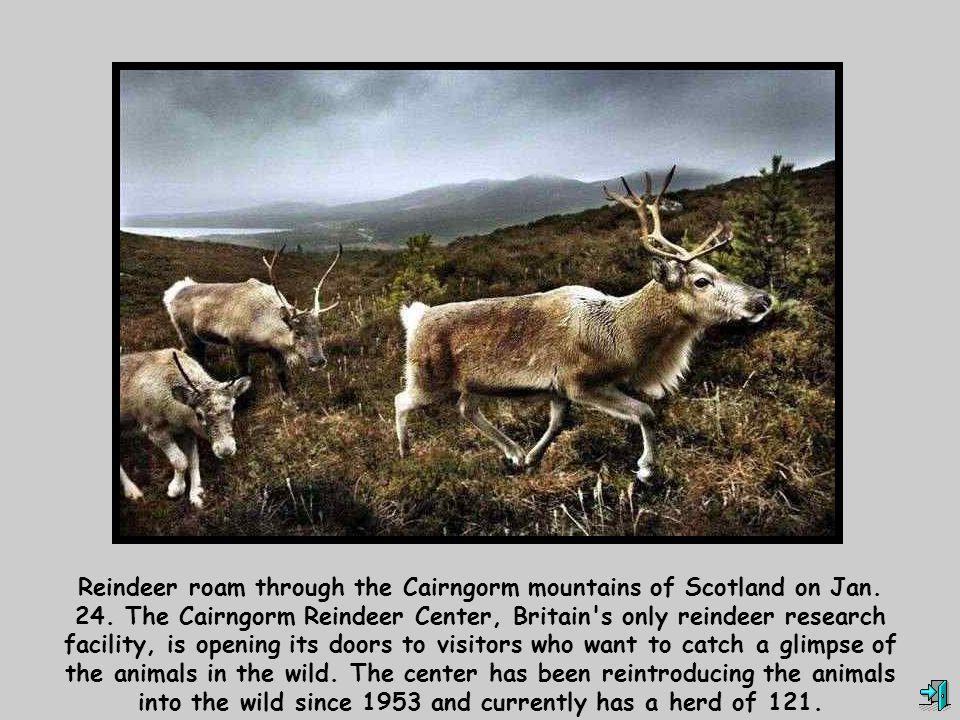 Reindeer roam through the Cairngorm mountains of Scotland on Jan. 24