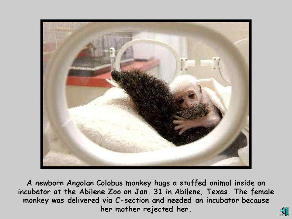 A newborn Angolan Colobus monkey hugs a stuffed animal inside an incubator at the Abilene Zoo on Jan.