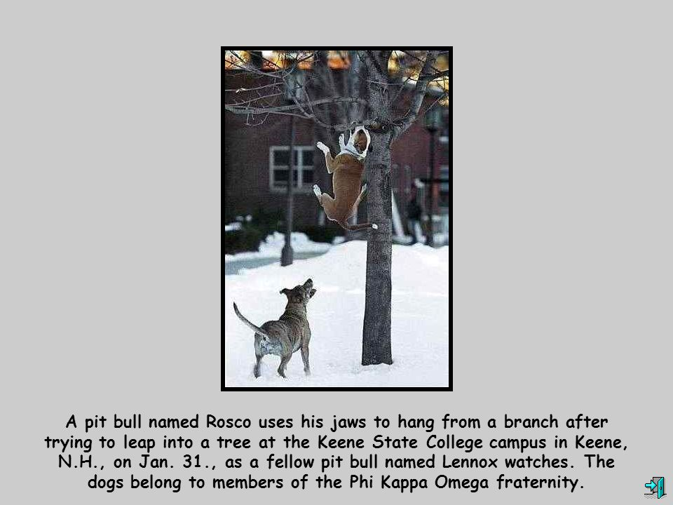 A pit bull named Rosco uses his jaws to hang from a branch after trying to leap into a tree at the Keene State College campus in Keene, N.H., on Jan.