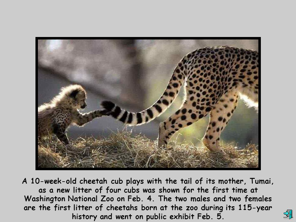 A 10-week-old cheetah cub plays with the tail of its mother, Tumai, as a new litter of four cubs was shown for the first time at Washington National Zoo on Feb.