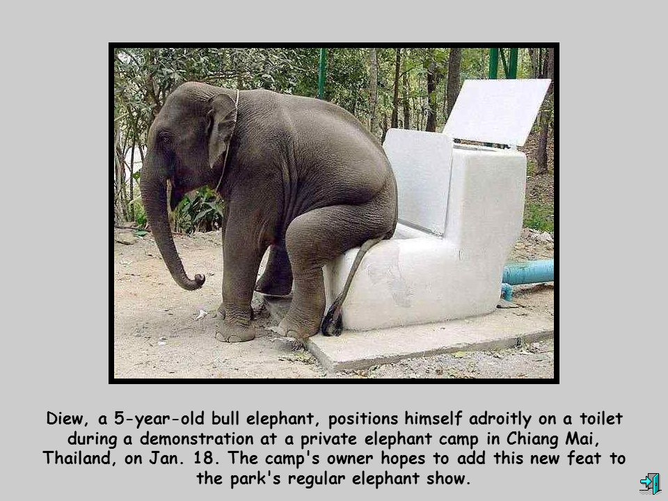 Diew, a 5-year-old bull elephant, positions himself adroitly on a toilet during a demonstration at a private elephant camp in Chiang Mai, Thailand, on Jan.