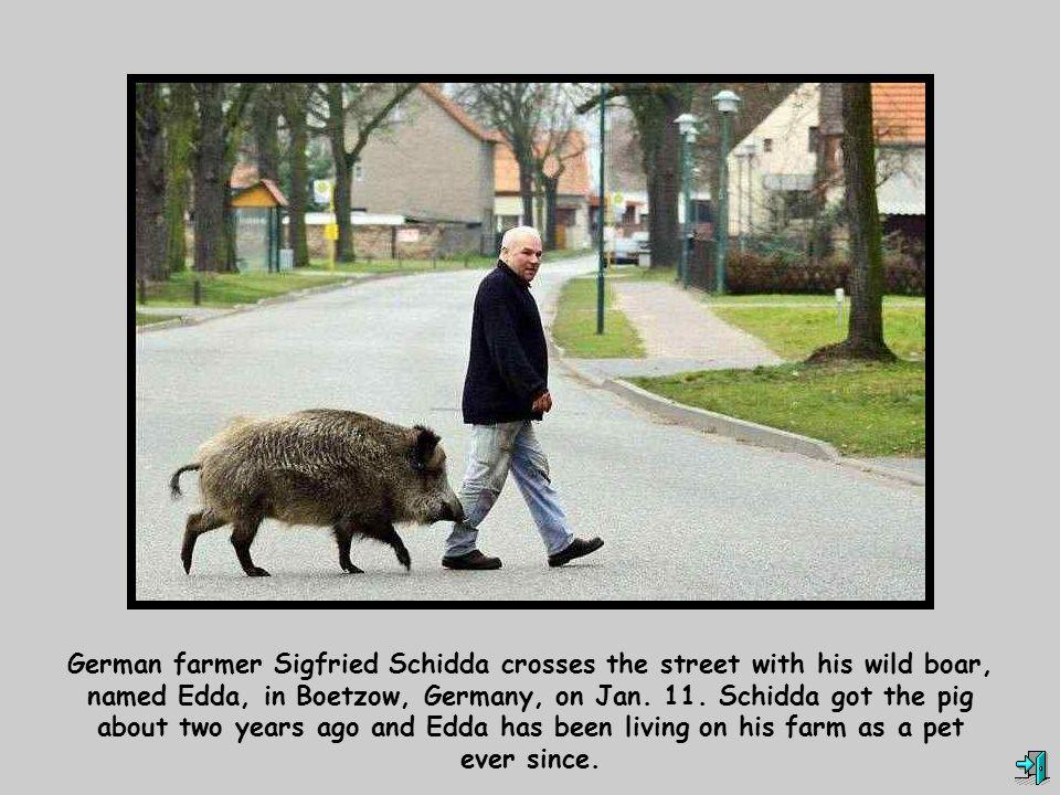 German farmer Sigfried Schidda crosses the street with his wild boar, named Edda, in Boetzow, Germany, on Jan.