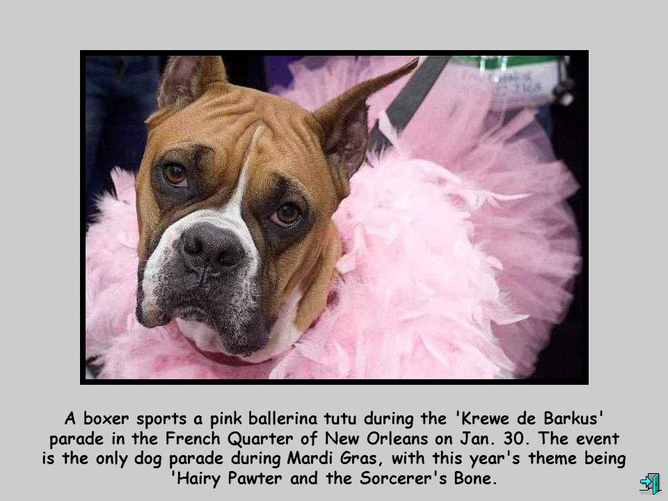 A boxer sports a pink ballerina tutu during the Krewe de Barkus parade in the French Quarter of New Orleans on Jan.