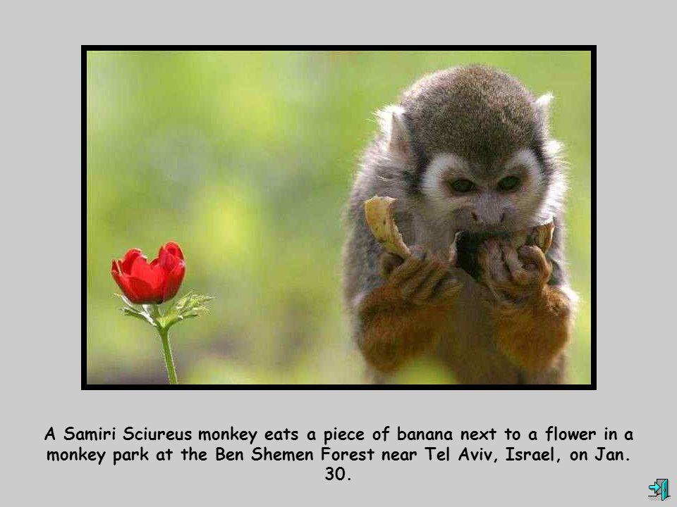 A Samiri Sciureus monkey eats a piece of banana next to a flower in a monkey park at the Ben Shemen Forest near Tel Aviv, Israel, on Jan.
