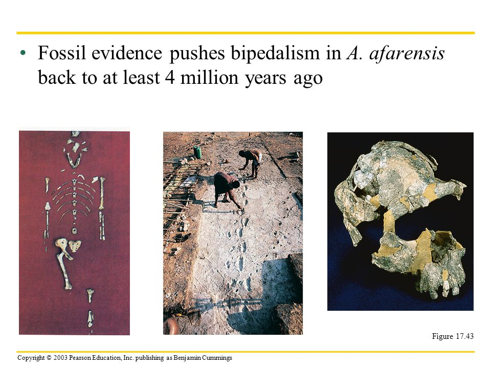 Fossil evidence pushes bipedalism in A