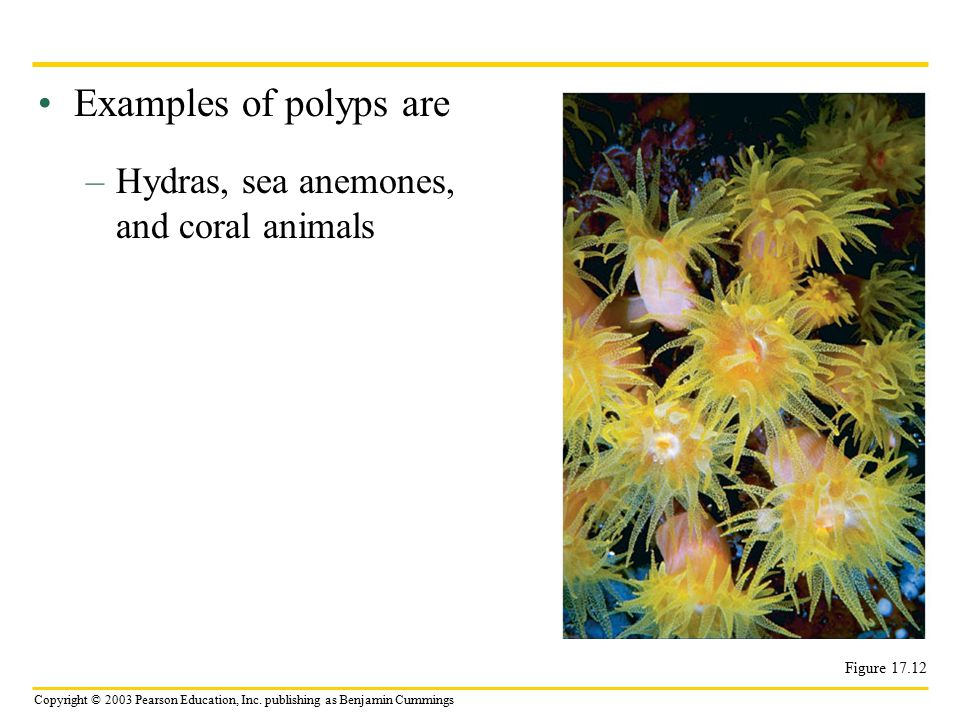 Examples of polyps are Hydras, sea anemones, and coral animals